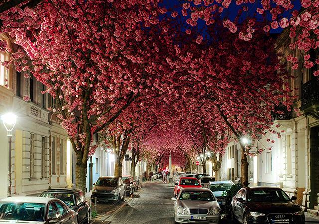 Drvored japanske trešnje, Bon, Nemačka