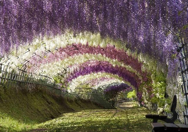 Tunel glicinije, Točigi, Japan