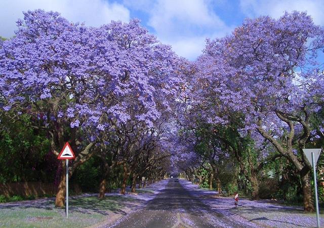 Jacarandas Walk, Johanesburg, Južna Afrika